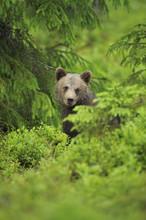 Eurasian Brown Bear (Ursus Arc...