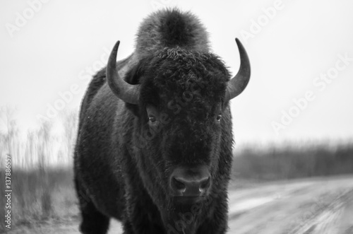 La pose en embrasure Bison American bison on a gravel road in Iowa