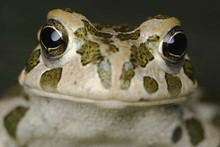 European Green Toad (Bufo Viri...