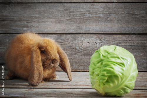 funny rabbit with cabbage on wooden background Canvas Print