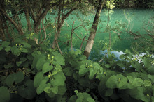 Flowering Birtworth (Aristolochia Clematitis) By Ash Trees (probably Fraxinus Angustifolia) In Riparian Forest Along The Trebizat River, Bosnia And Herzegovina, May 2009