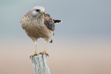 Red-shouldered Hawk (Buteo Lineatus) Standing On Fence Post, Florida, USA