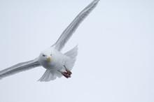 Glaucous Gull (Larus Hyperboreus) In Flight, Moselbukta, Svalbard, Norway, July 2008