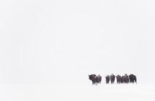 European Bison Herd In Snow, Bialowieza National Park