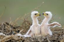 Two Steppe Eagle (Aquila Nipalensis) Chicks In Their Nest. Cherniye Zemli (Black Earth) Nature Reserve, Kalmykia, Russia, May 2009  Wild Wonders Kids Book.