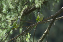 Monk Parakeet (Myiopsitta Monachus) Pair Perched In Tree In The Vatican Garden, Rome, Italy, March 2010