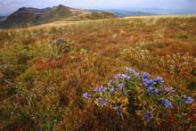 Swallowwort Gentian (Gentiana Asclepiadea), Halicz And Krzemien Peaks In The Background. Bieszczady, Carpathian Mountains, Poland, September 2009.