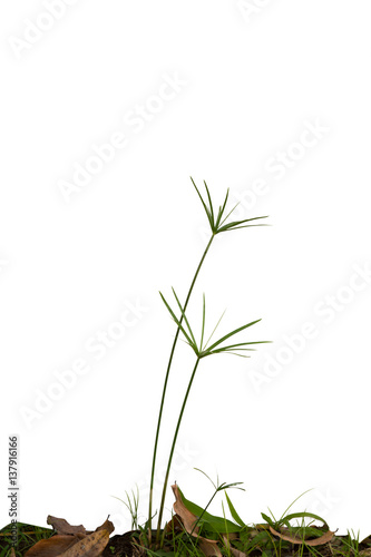 Fotografie, Obraz  sedge isolate on white.The flow of the plant.