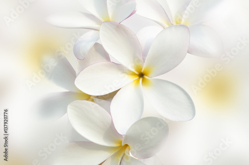 White plumeria flower background