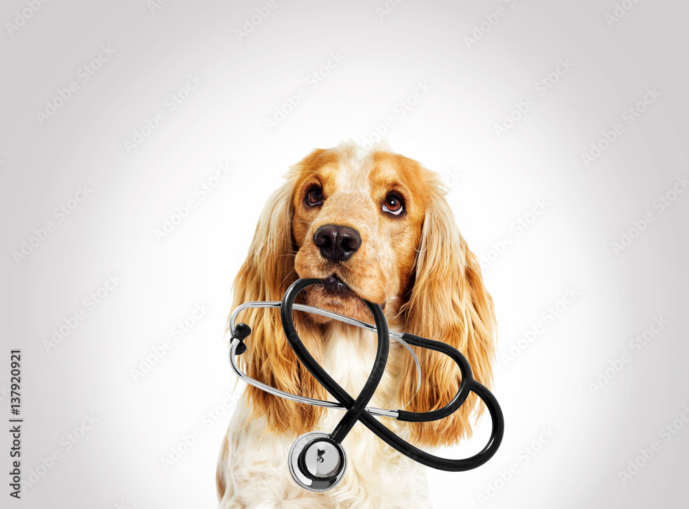 portrait vet dog spaniel on a gray background