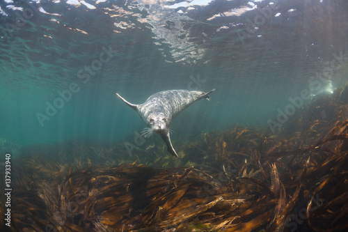 Fototapeta premium Podwodne zdjęcia Phoca largha (Larga Seal, Spotted Seal)