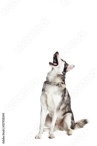 Alaskan Malamute sitting in front of white background Wallpaper Mural