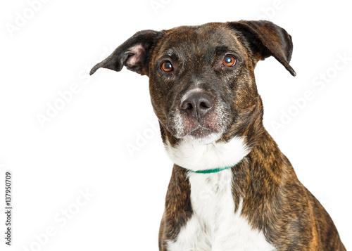 Photo  Portrait Beautiful Large Crossbreed Dog