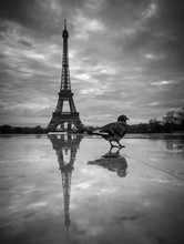 View Of The Eiffel Tower From The Trocadero. Reflection Tower In Wet Rain Stone Pavement. Bird Pigeon And Its Reflection Goes To The Foreground. BW Photography. France. Paris.