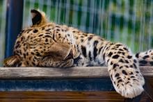 Jaguar Leopard Napping Sleeping