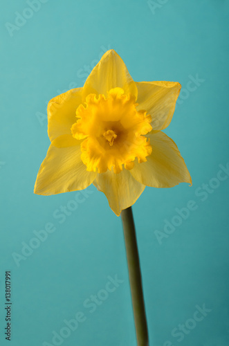 In de dag Narcis Front View of Single Spring Daffodil on Turquoise