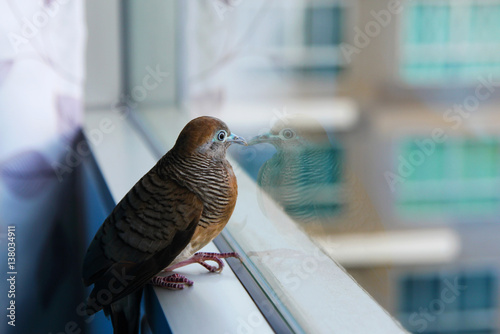 Travel to Bangkok, Thailand. Zebra Dove (Geopelia striata) on the window.