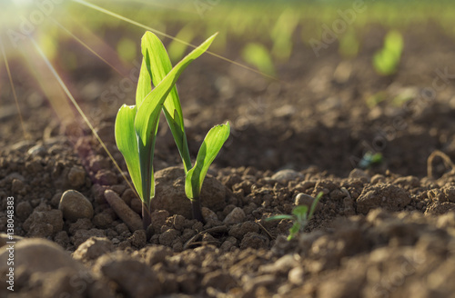 Canvas Print Young wheat seedlings