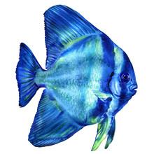 Blue Teira Batfish, Platax Or ...