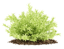 Thin Leaves Sedum Plant Isolat...