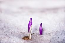 Closed Purple Crocus Flowers I...