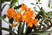 Blooming Of Orange Clivia. Bud...