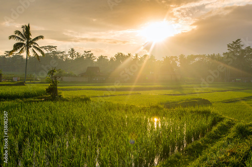 Garden Poster Rice fields Terrace rice fields on a sunny day, Bali, Indonesia.