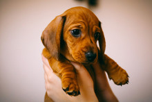 Isolated Shot Of 8 Weeks Old Smooth Hair Brown Dachshund Puppy Held In Hands Of Its Female Owner.