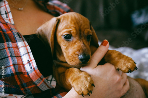 Stampa su Tela 8 weeks old smooth hair brown dachshund puppy resting safely in the hands of its