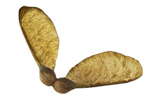 Sycamore Seed Isolated On A White Background