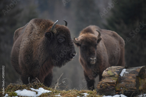 Canvas Prints Bison Wild European bison in the forest of the Carpathians