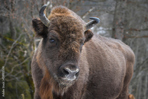 Poster Deer Wild European bison in the forest of the Carpathians