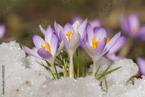 Printed kitchen splashbacks Crocuses Frühlingserwachen
