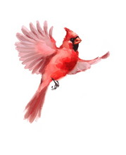 Watercolor Bird Red Northern C...