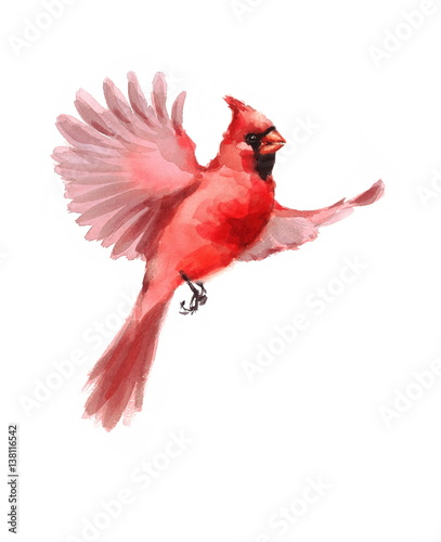Foto Watercolor Bird Red Northern Cardinal Flying Winter Christmas Hand Painted Greet