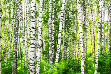 Fototapeta Brzoza summer in sunny birch forest