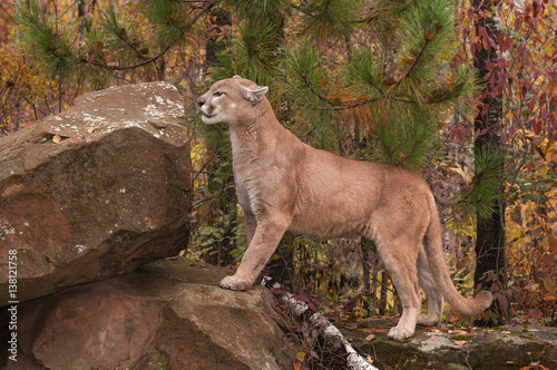 Stickers pour portes Puma Adult Male Cougar (Puma concolor) Prepares to Climb Up
