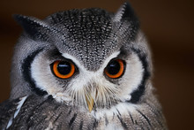 Owl , Southern White Faced