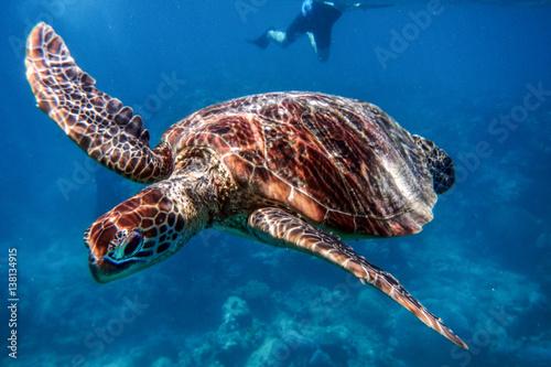 Plakat Morski żółw w Wielkiej rafie bariery, Australia