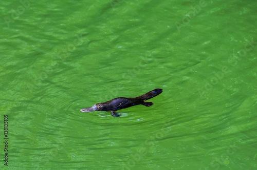 Fotografering  Platypus in Atherton Tablelands, Australia