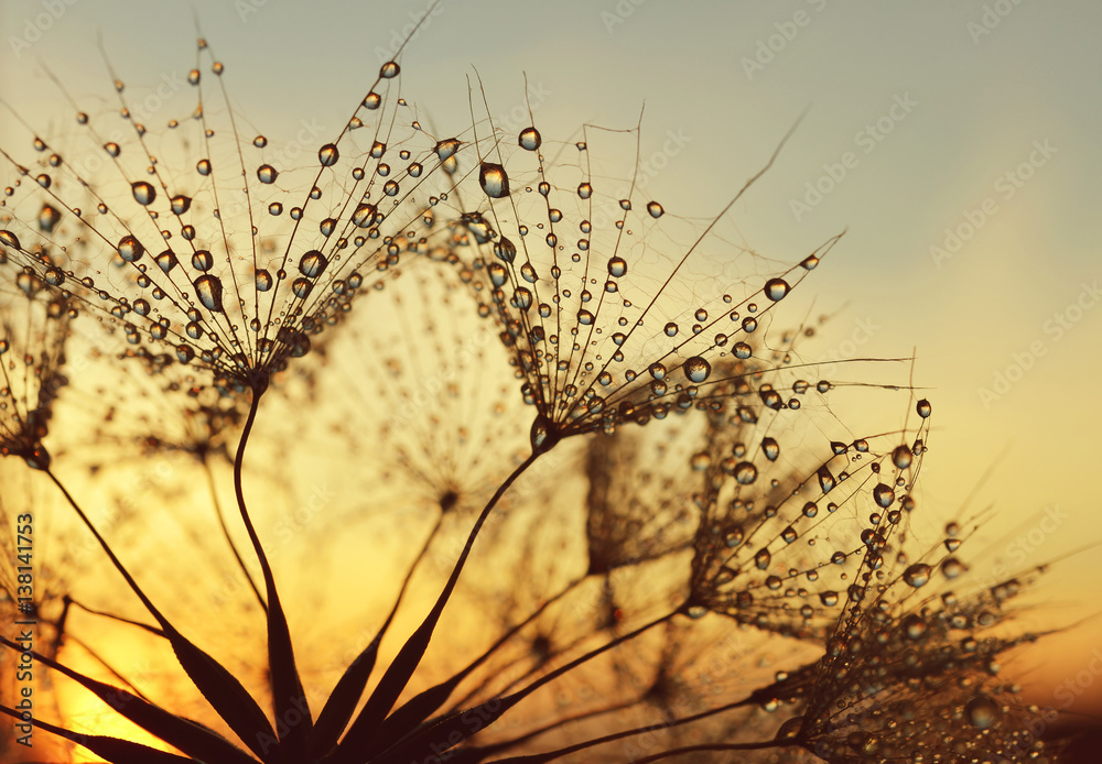 Fototapety, obrazy: Dew drops on a dandelion seeds at sunrise close up.