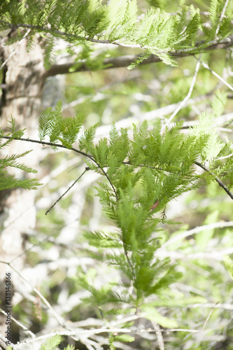 Fotografia, Obraz  Evergreen Tree