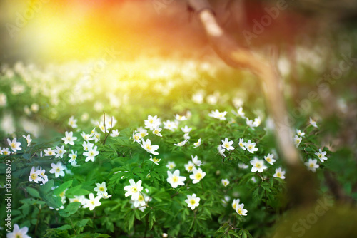 Flowering Forest On Sunset Sunrise Dawn With Soft Focus Spring Floral Botanic Nature Background Wallpaper