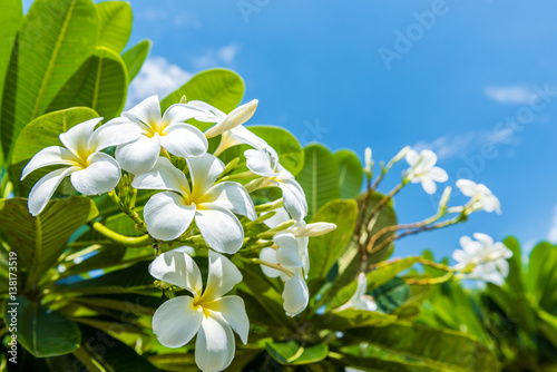 Poster Frangipani White plumeria with blue sky background
