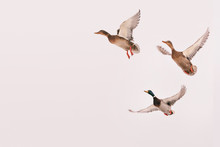Three Wild Ducks Flying In The...