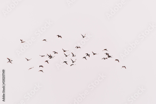 many ducks fly in the sky (hunting bird)