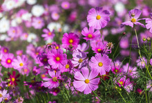 Close Up Pink Cosmos Flowers Blooming In The   Meadow