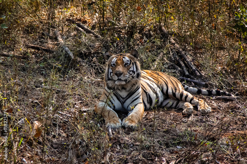 Impressive Bengal tiger resting in the forest, Kanha National Park, India Canvas Print