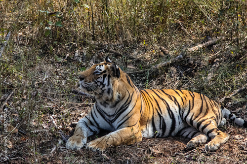 Impressive Bengal tiger resting in the forest, Kanha National Park, India Wallpaper Mural