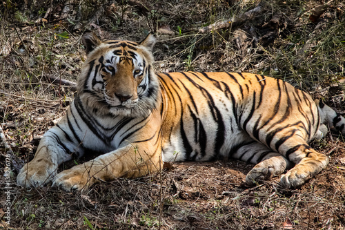 Photo  Close up of an impressive Bengal tiger resting in the forest, Kanha National Par